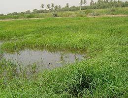 Rizière à proximité du fleuve Sénégal