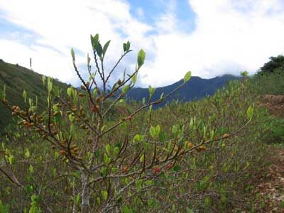 Plants de coca à Corioco, Las Yungas