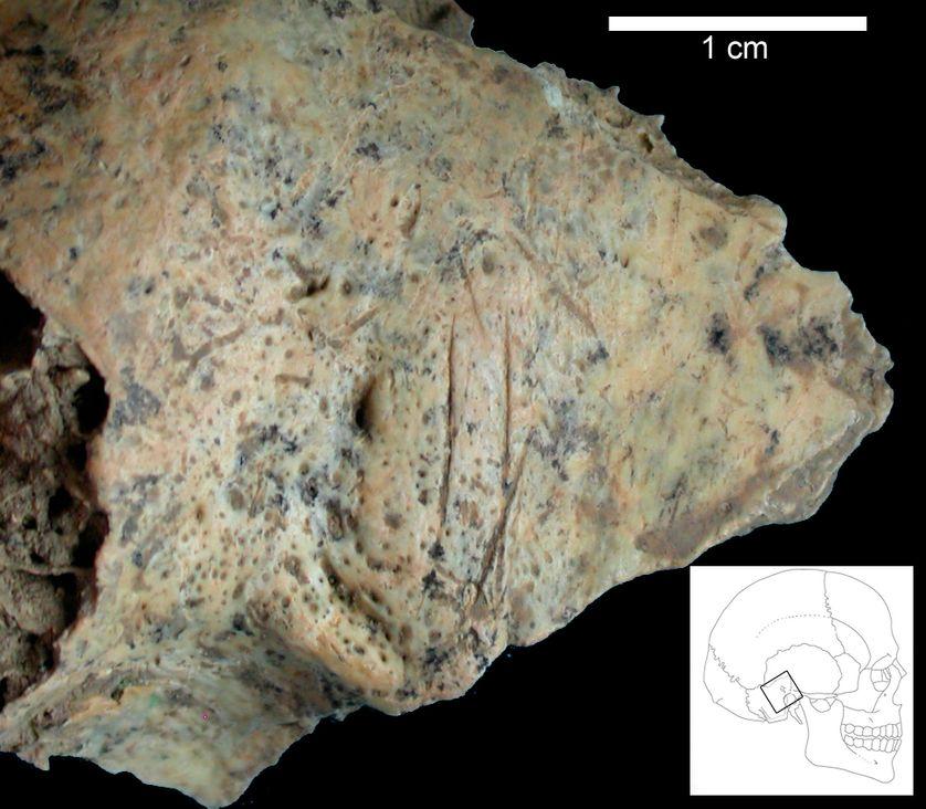 Os temporal d'homme moderne ancien de Buran-Kaya III (32000ans BP) présentant des traces de découpe