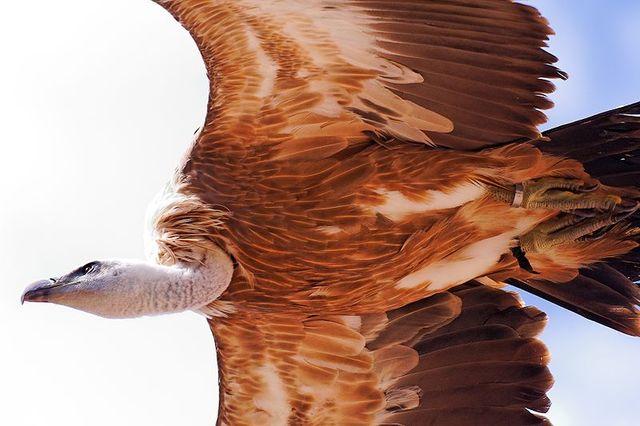 Le vautour-fauve
