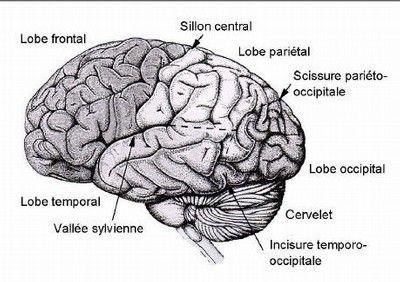 Emisphères et lobes cérébraux