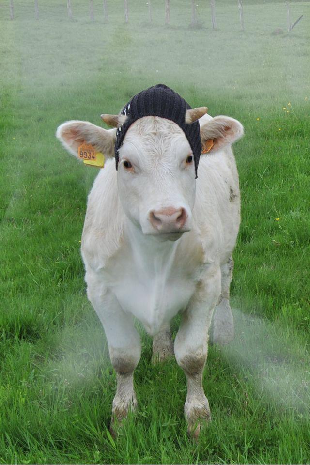 Vache Monbéliarde @ B. Laurent Ornans