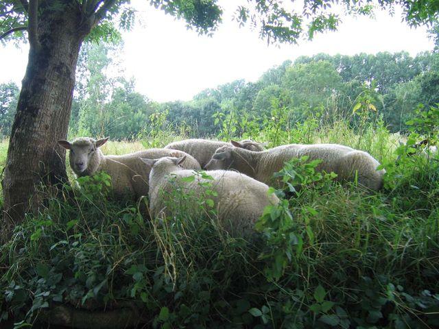 Marais Poitevin Moutons