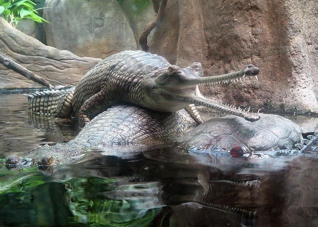 Gavial Crocodiles, Prague Zoo, May 2008