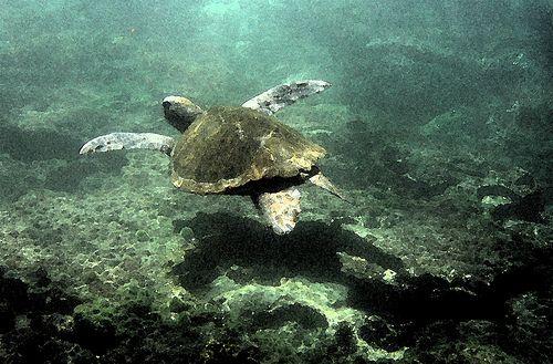 Tortue des Galapagos