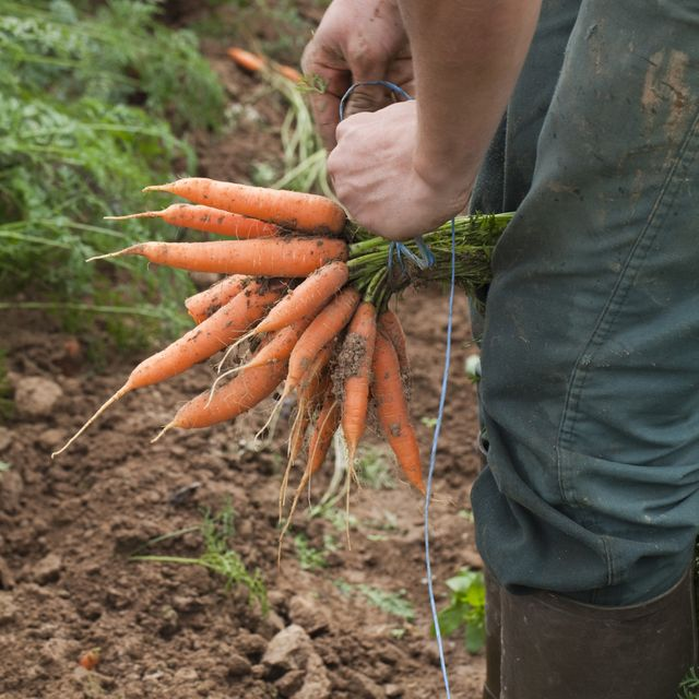 Les mains dans la terre - une botte de carottes