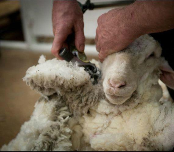 Les tondeurs de moutons