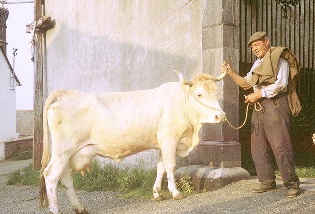 Agriculteur et sa vache Lourdaise à Lézignan - 1966