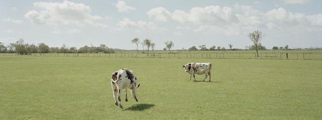 Le Voyage à Nantes - Vaches