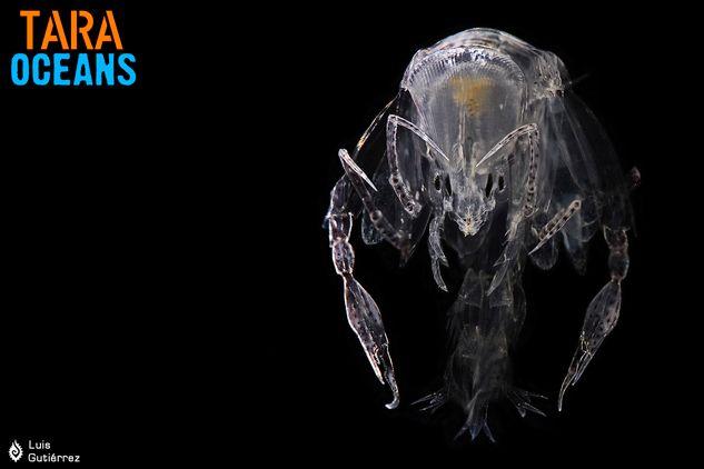 Phronima amphipod adulte / Tara