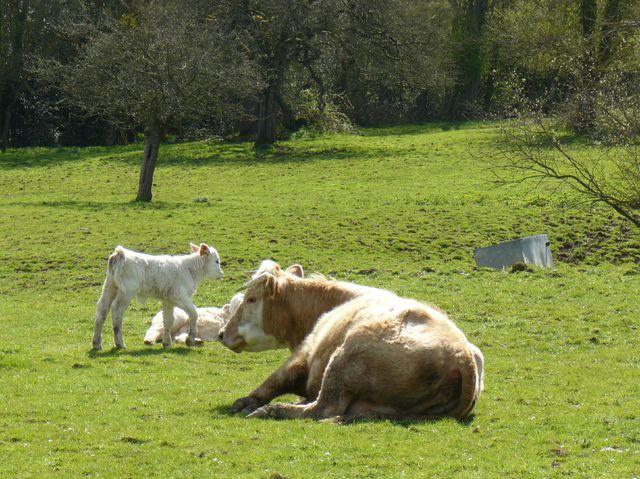 Veaux, vache