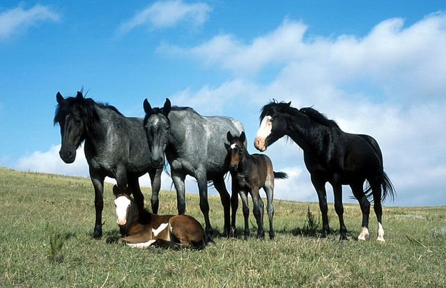 chevaux - The Nokota stallion Jumping Jack and his band of two mares and foals on the North Dakota prairie.