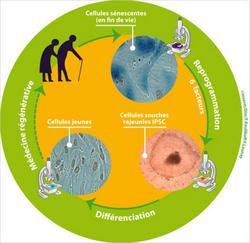 Reprogrammation de cellules sénescentes âgées