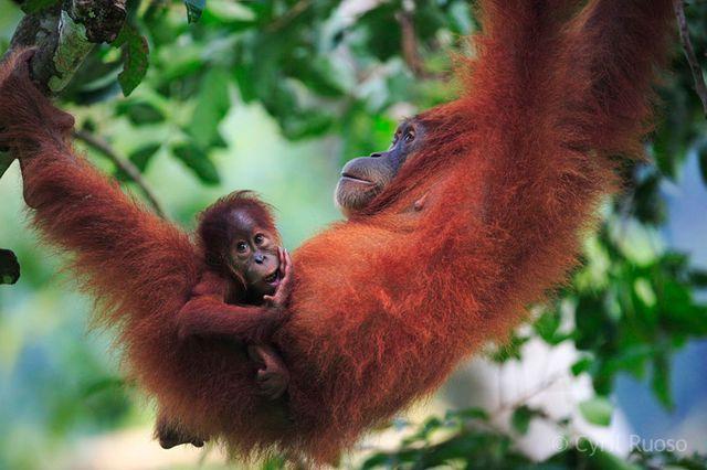 Orang-outan de Sumatra INDONESIE