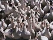 Le canard et le cassoulet, principales spécialités de Le PLan