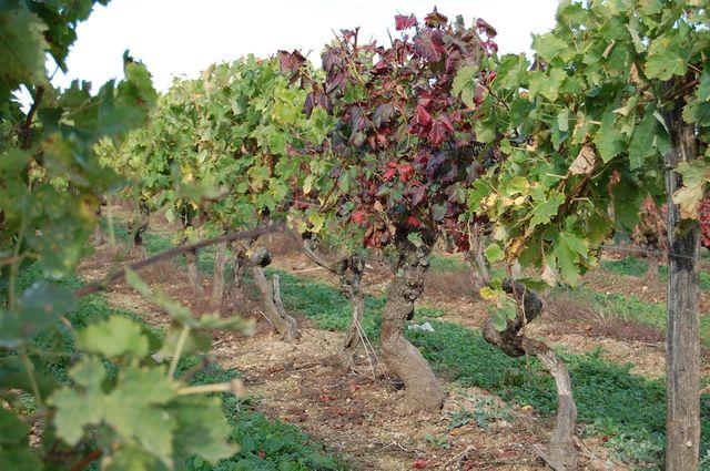 Vignes à Châteaubernard (Charente)