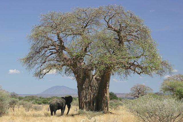 specimen près d'un elephant d'Afrique