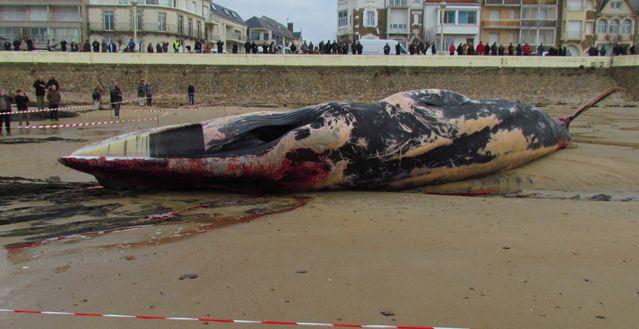 Une baleine échouée aux Sables d'Olonne