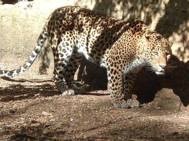 Léopard (zoo de Doué)