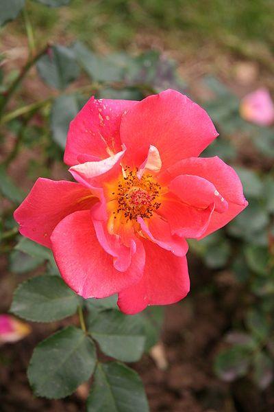 rose tourbillon