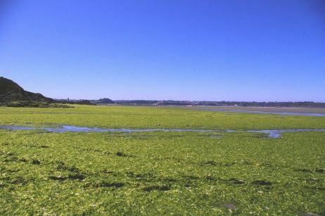 Algues vertes dans la baie de St Brieuc