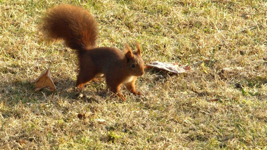 L'écureuil roux  ©MDG