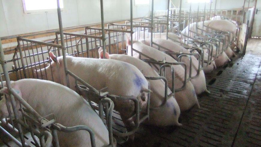Elevage de porcs