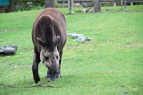 Tapir au zoo de La Flèche, France