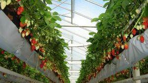 fraises sur substrat