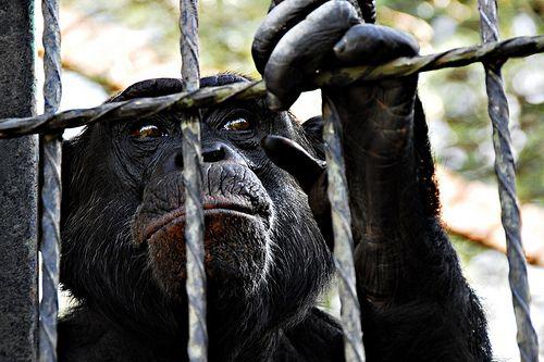 ape freedom
