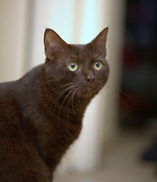 Chat brun