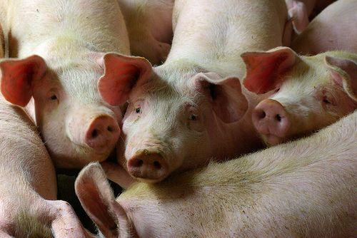 porcin farm