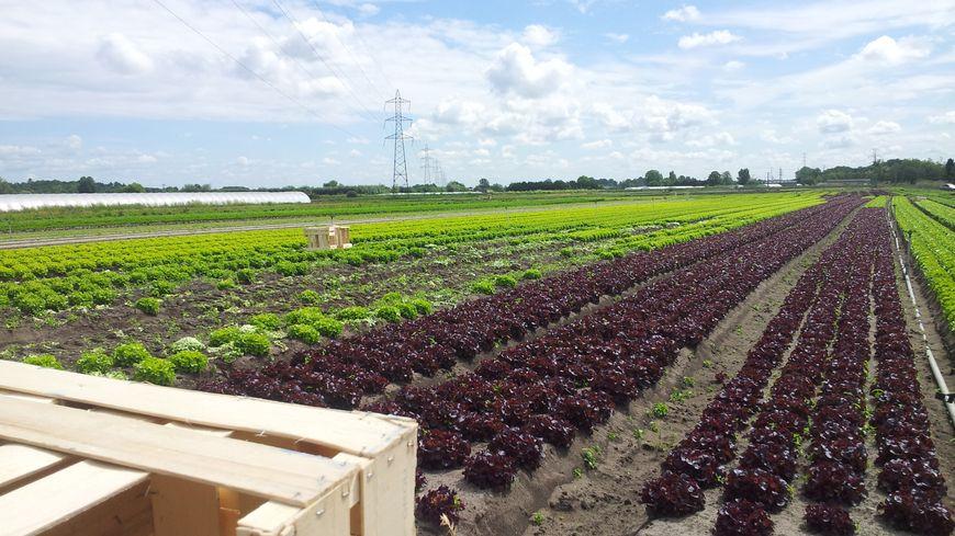 Plants de salades