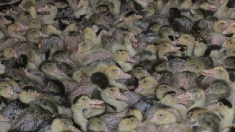 Le festival de canards gras