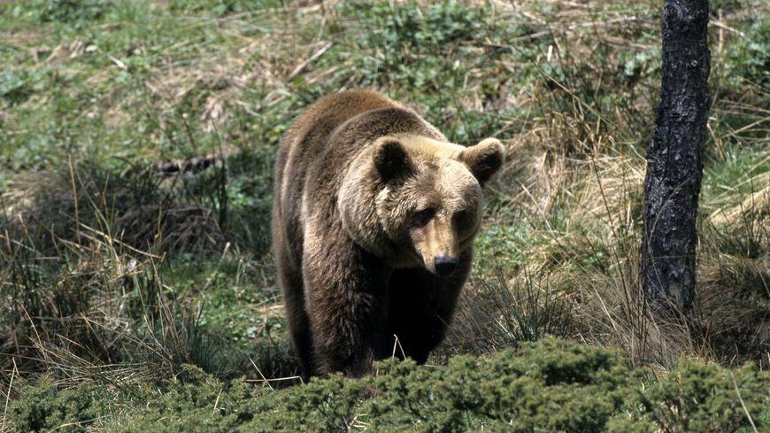 Cannelle, dernier ours brun femme des Pyrénées