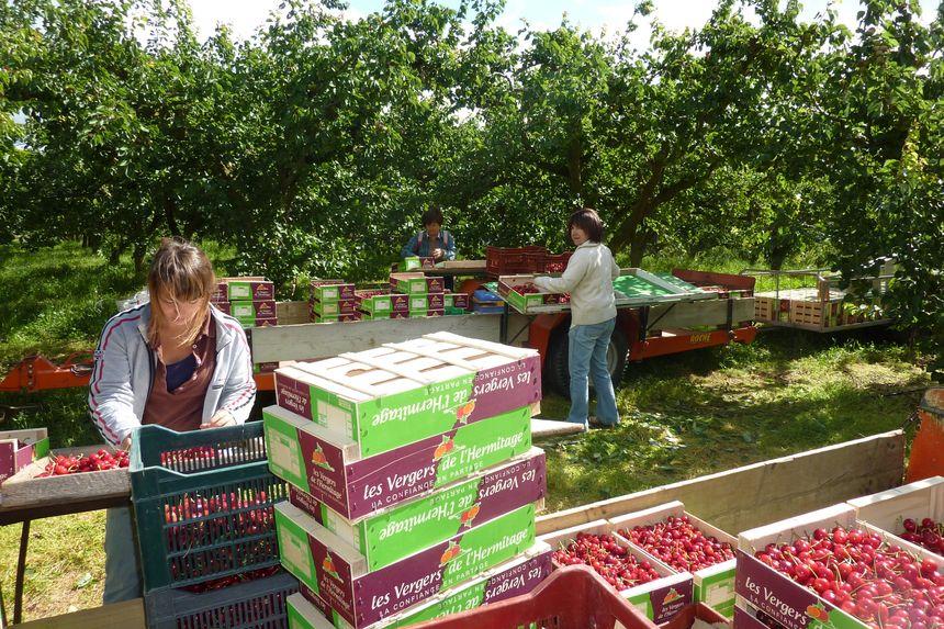 Des ramasseurs de cerises à Larnage dans la Drôme en juin 2013.