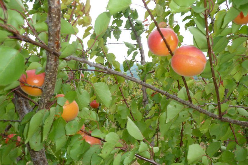 Des abricots précoces dans la Drôme en juin 2013.