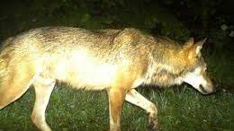 loup Franche Comté