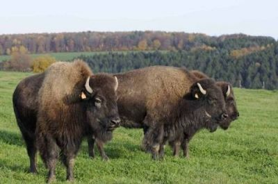 Le ranch des bisons de Petit Rederching