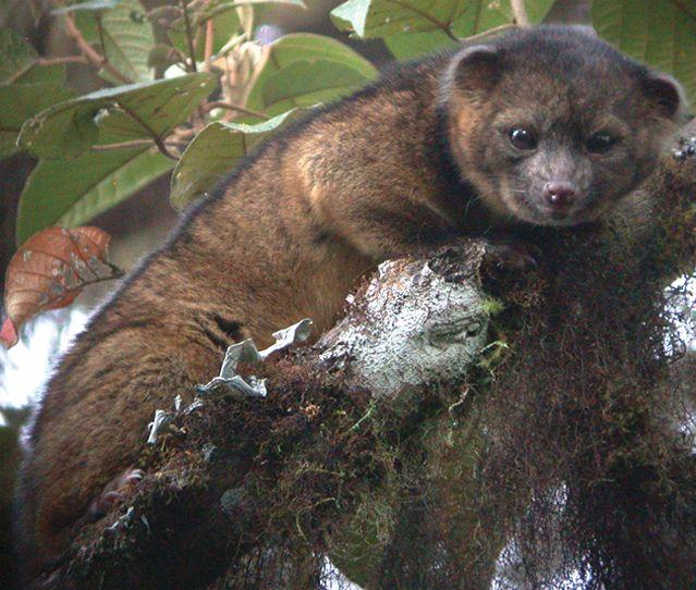 Un spécimen à l'état sauvage au Tandayapa Bird Lodge, en Équateur.