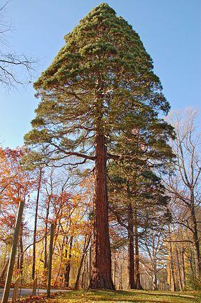 Séquoia d'Amérique