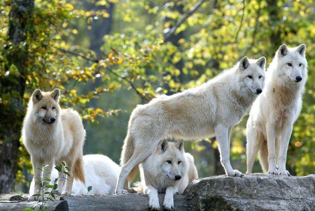 Loups blancs, Parc animalier de Sainte-Croix