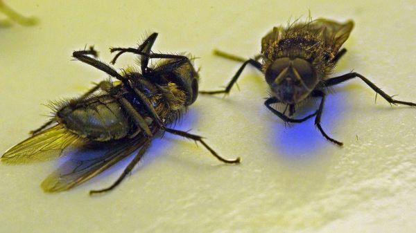 Les mouches ont envahi le village de Cerbère