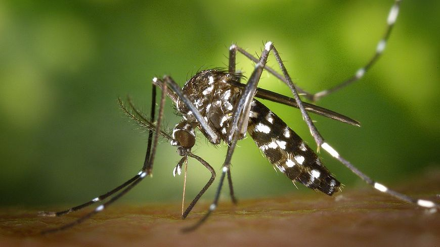 Aedes albopicts