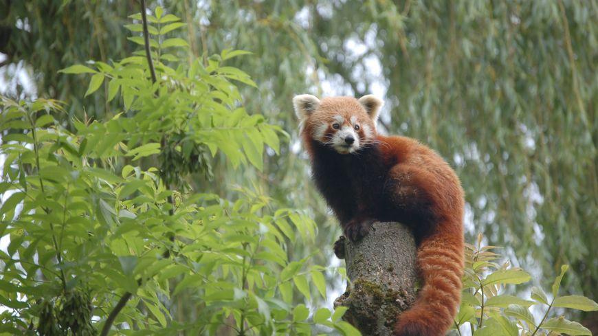 Le panda roux né au zoo à Amiens rejoint un zoo en République Tchèque