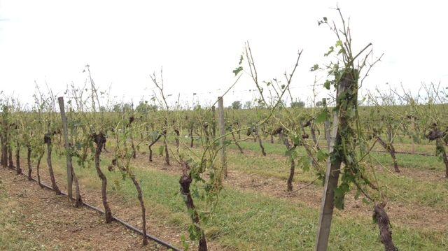 Plus une feuille ou un raisin sur les vignes certaines parcelles après le passage de la grêle