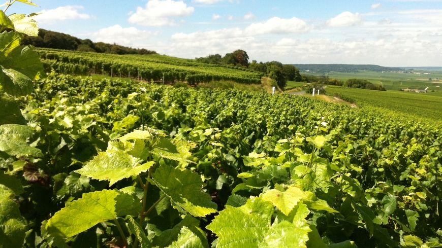 Vignes de Champagne à Verzenay
