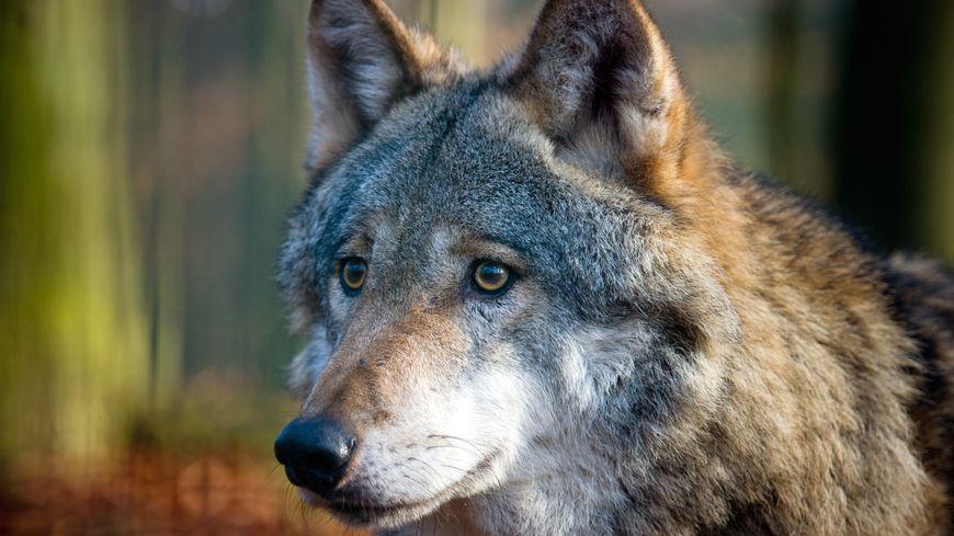 Le loup peut se déplacer de 30 kilomètres chaque jour