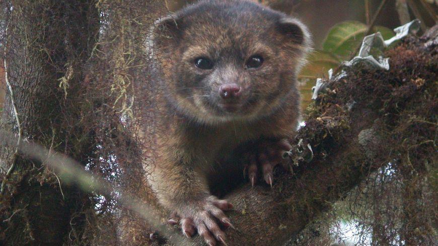 L'olinguito est un cousin du raton laveur