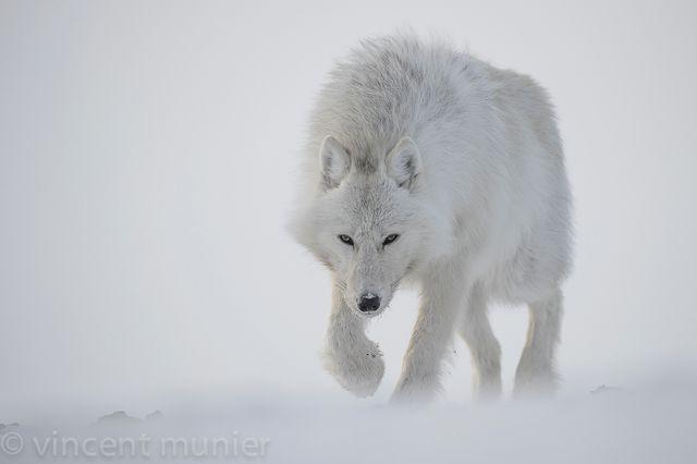 Loup d'Antarticque